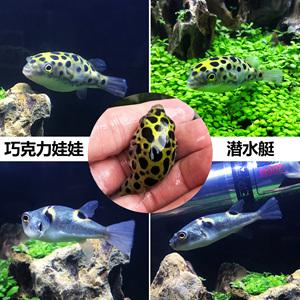 河豚活体宠物鱼气泡鱼狗头鱼鼓包鱼潜水艇冷水淡水观赏鱼包活