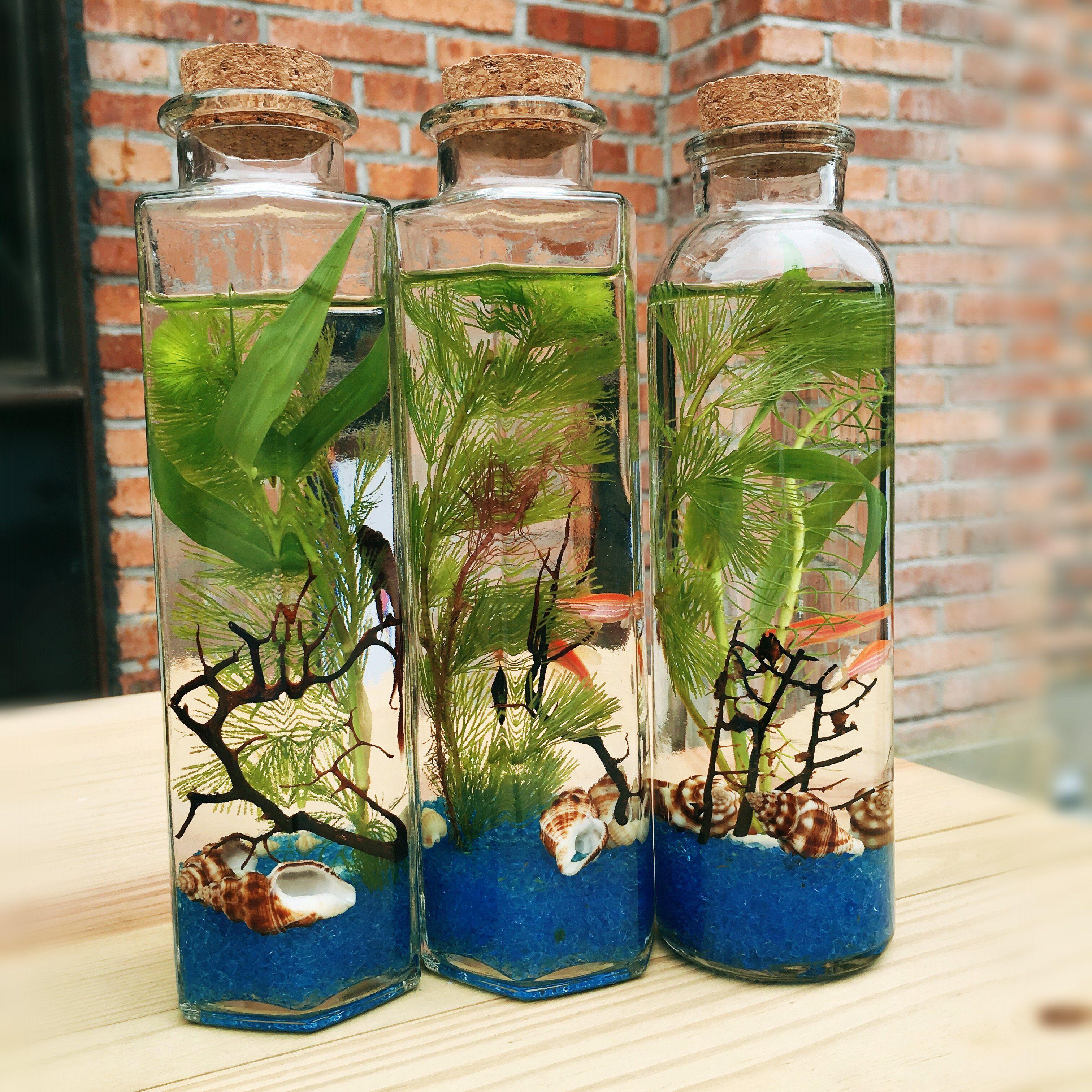 斑马鱼活体生态瓶鱼微景观免换水办公室宠物观赏鱼玻璃鱼缸造景