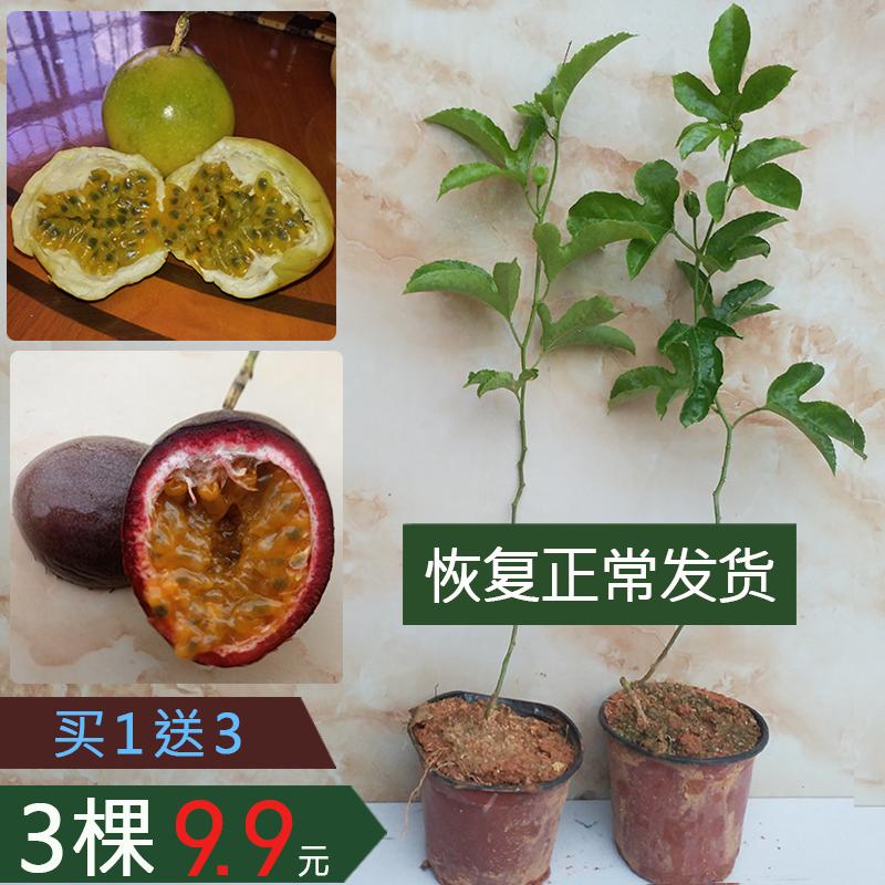 百香果苗四季种植当年结果盆栽黄金果南方果树苗当年结果紫香大苗