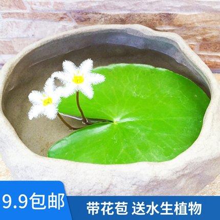 一叶莲水培植物碗莲睡莲金银莲花印度莲水荷叶白花荇菜四季开花