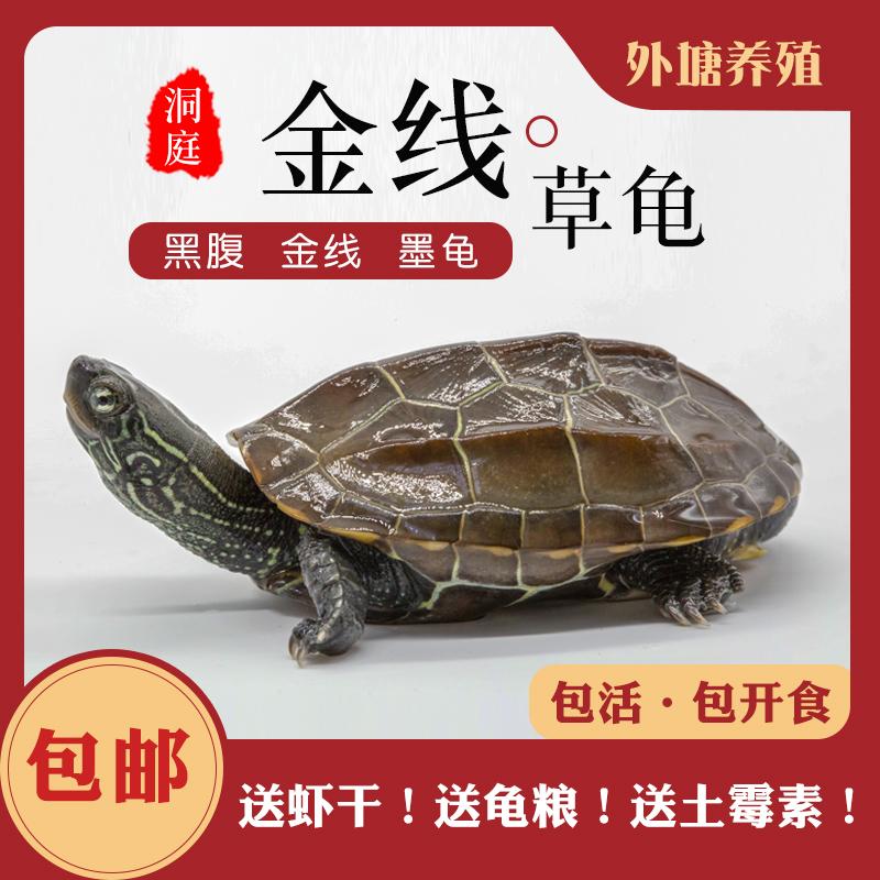 外塘中华草龟苗小乌龟活物墨龟金线大乌龟活的宠物龟黑腹国龟图片