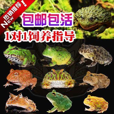 钟角蛙退纹黄金火龙角蛙薄荷宇治角蛙草莓比卡丘角蛙非洲牛蛙活体