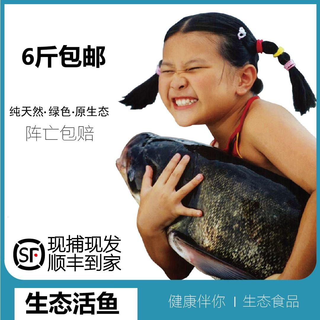 【活鱼快递6斤】千岛湖滩涂人家野生新鲜活鱼钓鱼岛胖头鱼花莲鱼