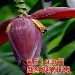 乡村芭蕉花5斤包邮香蕉花新鲜采集大蕉花千然录色食材蕉蕾不打药