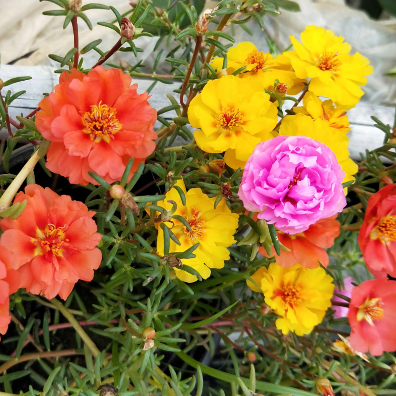 重弁の太陽の花の種の松葉の牡丹の半分の蓮の花の種は養いやすいです。