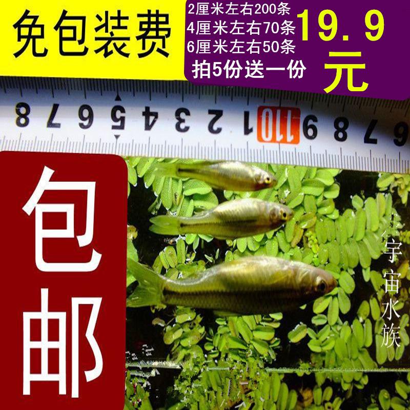 观赏鱼 饲料鱼活体喂龙鱼乌龟等活食19.9元200条包邮免包装费