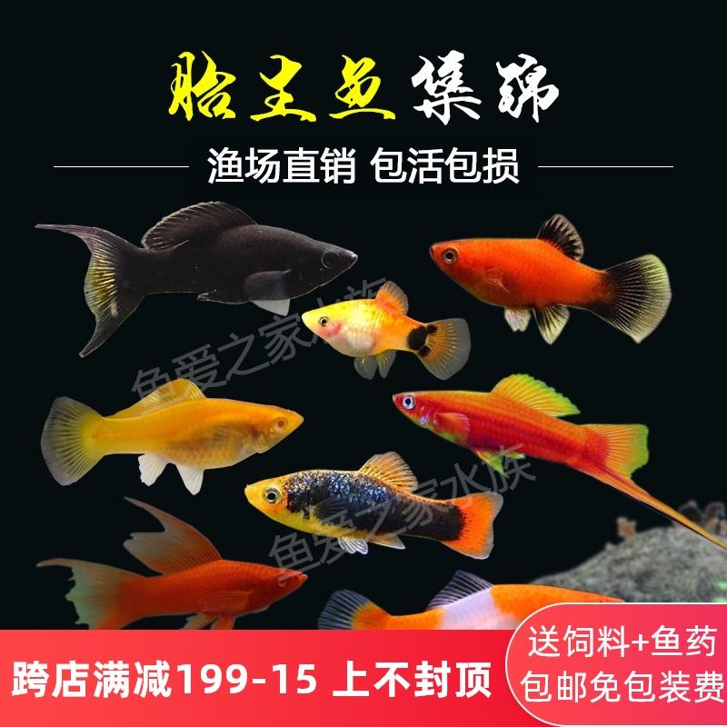 胎生鱼金银黑皮球玛丽鱼热带观赏鱼月光鱼孕母临产小型宠物活体鱼