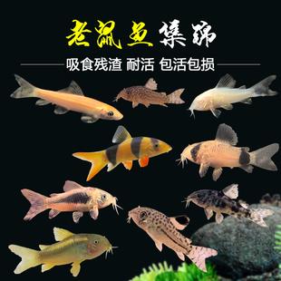 老鼠鱼清道夫金苔鼠熊猫鼠小型观赏鱼青苔底栖除藻清洁垃圾工具鱼