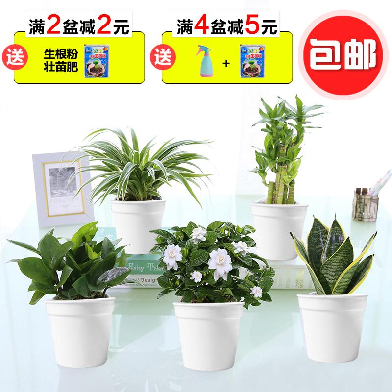 发财树绿萝水培绿植物栀子花苗吊兰花卉办公室内茉莉小盆栽富贵竹