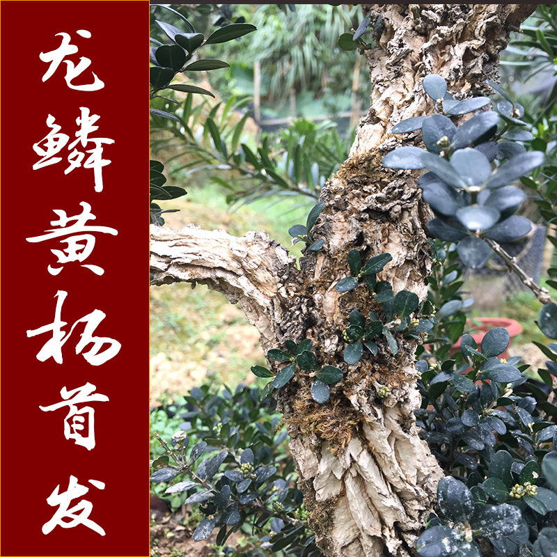 Boxwood bonsai dragon scale Black Pearl boxwood seedling small leaf wrinkled skin sparrow tongue boxwood old pile [new variety]