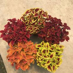 彩叶草盆栽花卉室外庭院花园调色五彩苏绿植耐热耐晒观叶植物包邮