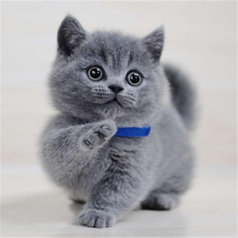 埠新纯种英短蓝猫银渐层幼猫金吉拉蓝白宠物猫咪虎斑布偶猫咪活体
