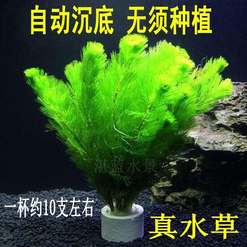 真水草活体好养易活鱼缸造景水下叶绿菊蜈蚣草植物阴性草观赏鱼