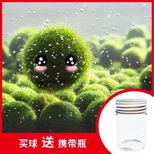 9.9包邮幸福海藻球marimo生态瓶水培植物微景观玻璃瓶鱼缸球水草