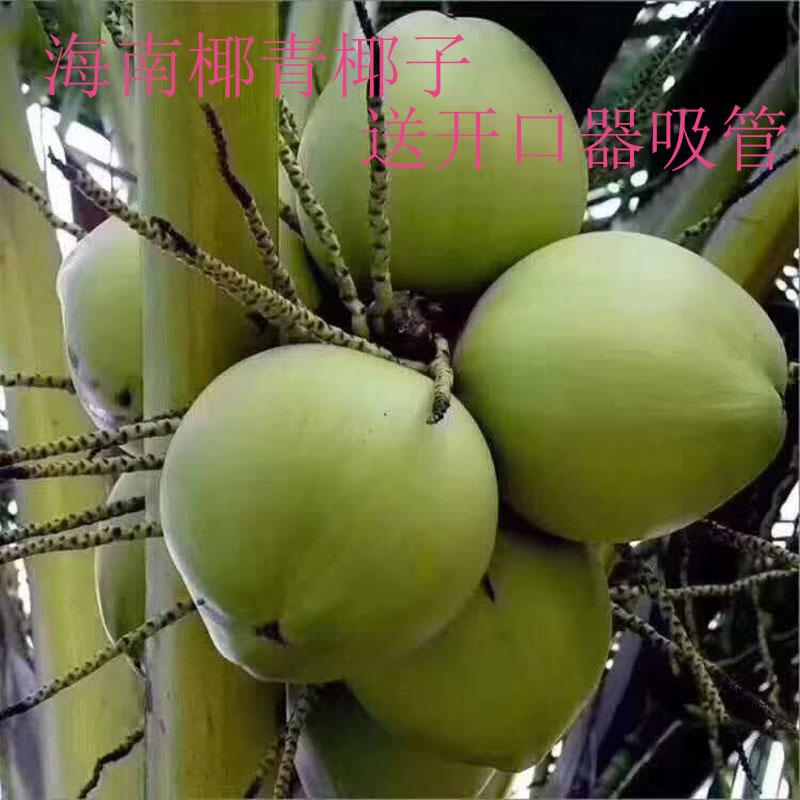 海南椰青椰子 新鲜热带水果椰汁椰皇 现摘去皮肉嫩超大一箱9个