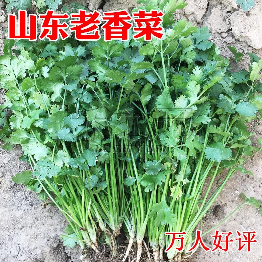 假一赔三山东老香菜种子小叶盆栽秋四季种菜春季种籽苗大香蔬菜种孑秋冬季