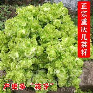 种子抱子芥种籽种孑重庆菜籽儿菜
