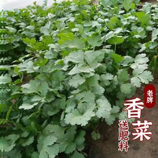 香菜种子大全农家香菜盆栽苗大叶芫荽种四季阳台香菜籽种老品种籽