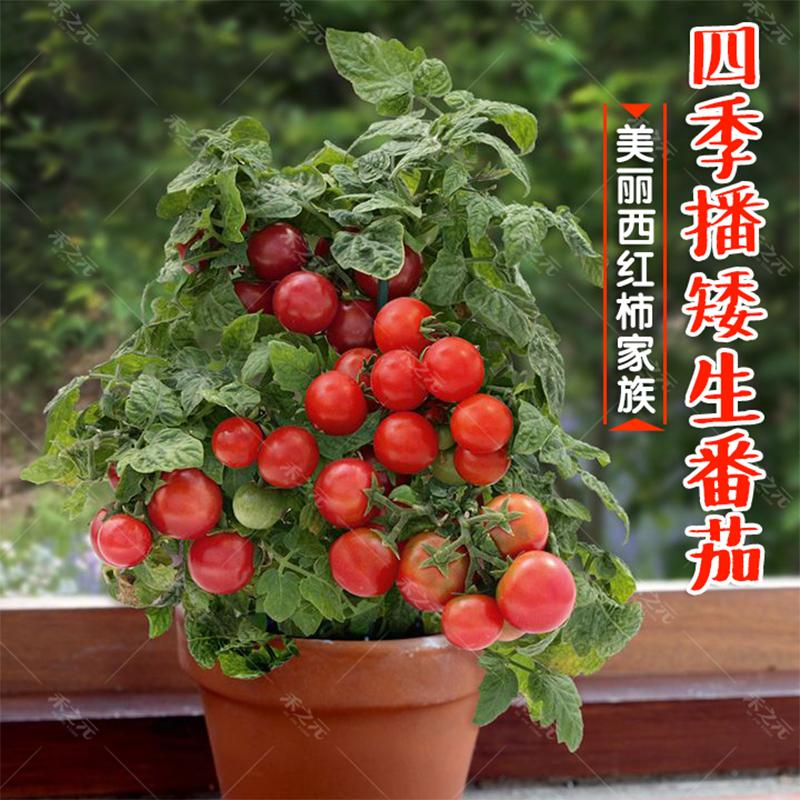 矮生盆栽番茄种子草莓红黑蔬菜种苗樱桃小西红柿圣女果四季春阳台
