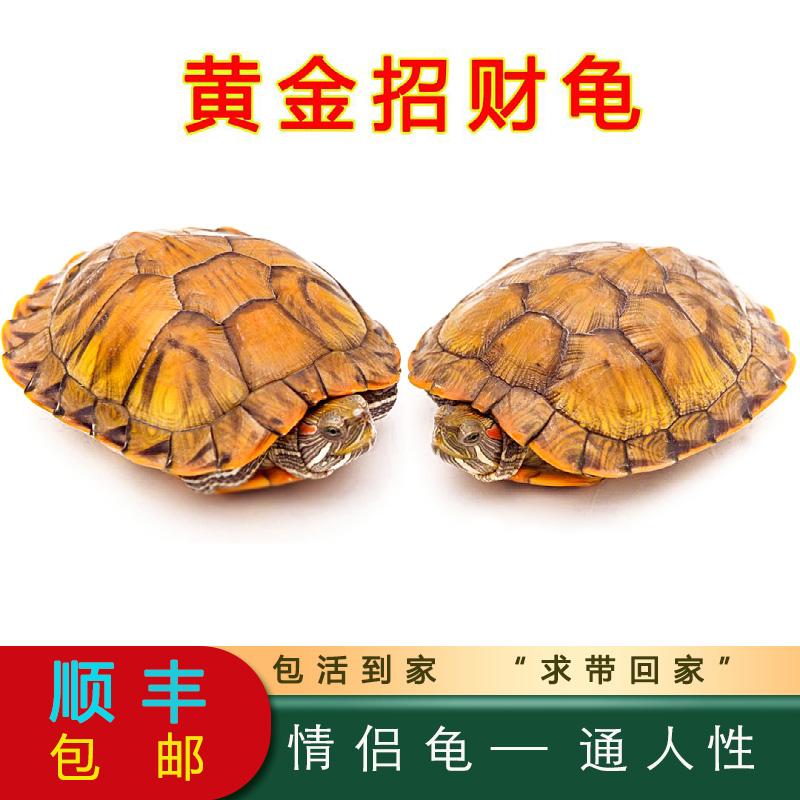 巴西龟小乌龟活物杂食放生长寿红耳龟观赏宠物龟苗黄金招财龟包邮