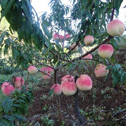 嫁接桃树苗盆栽地栽南北方当年结果特大冬桃树果苗水蜜桃地栽种植