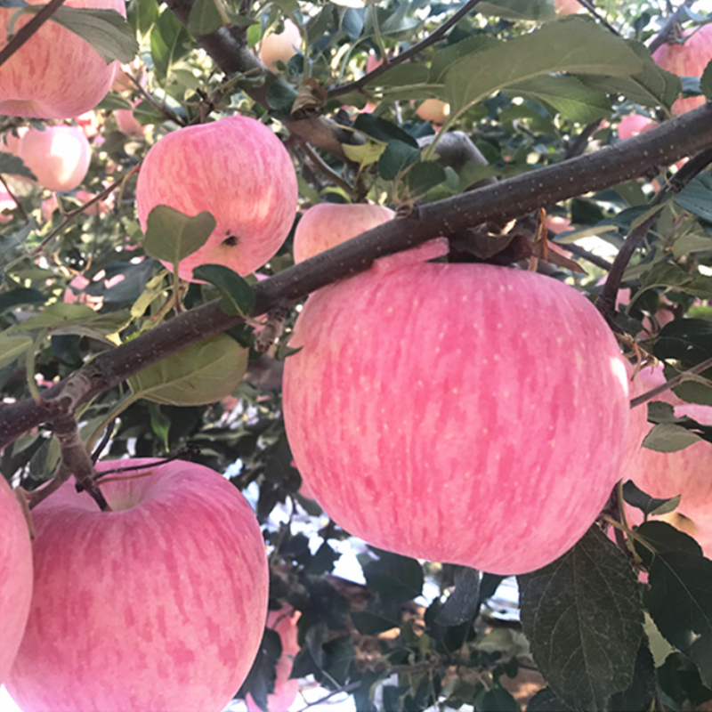 Fresh apple fruit Shandong Yantai Qixia Red Fuji agricultural products a whole box of 5 jin, package mail to eat crisp and sweet