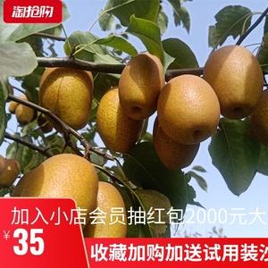 新鮮野生金珠果梨脆甜酥梨沙梨小黃梨蜜梨香梨秋月梨水果包郵五斤