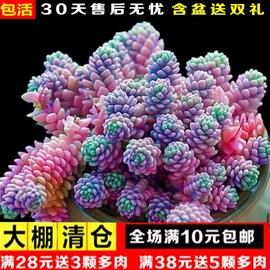多肉植物 旋叶姬星 大姬星美人 新款肉肉绿植盆栽花卉防辐射包邮