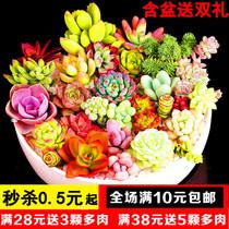 新款多肉植物组合盆栽超萌多肉绿植花卉室内批发包邮含盆带土