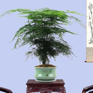 文竹爬藤盆栽植物室内特大型绿植铁杆创意云片松竹老桩盆景观花卉