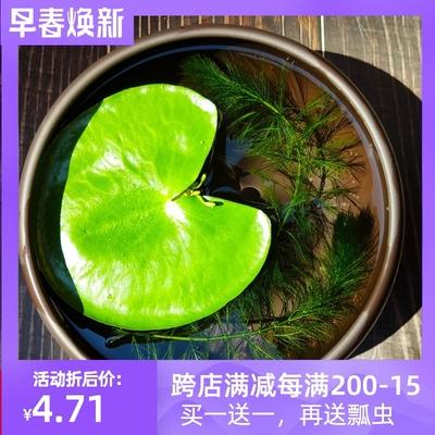 一叶莲碗莲睡莲水培植物鱼缸造景绿植四季开花水生迷你花卉盆栽