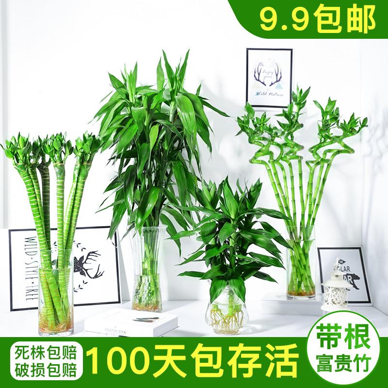 富贵竹水培植物转运竹观音竹节节高竹子室内小盆栽水养带根绿植