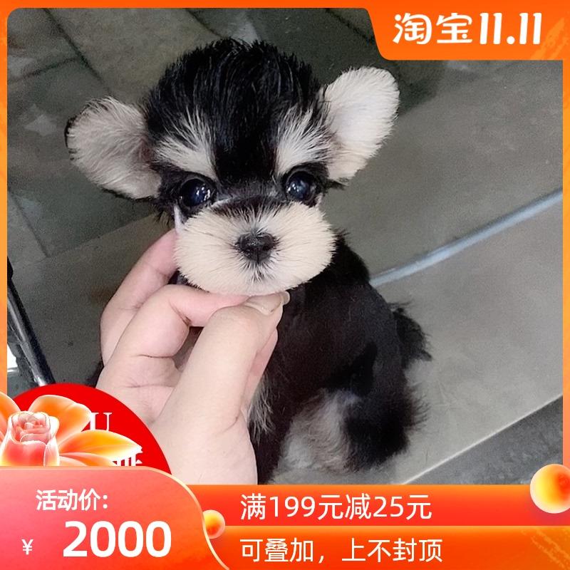 雪纳瑞犬幼犬纯种活体标准黑椒盐色迷你宠物狗黑银小狗狗上海犬舍