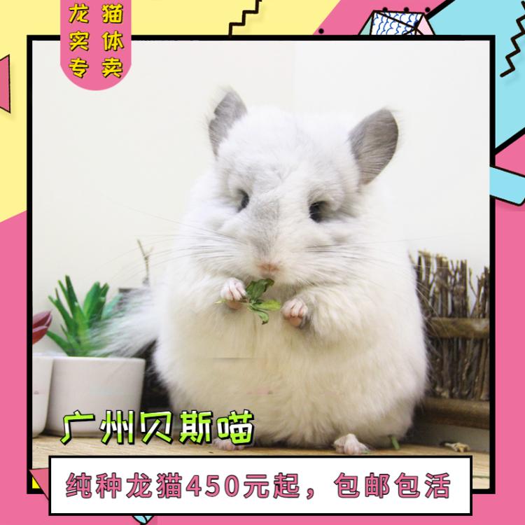 贝斯喵龙猫 标价为定金龙猫宝宝活体幼崽 宠物活物网红可上门挑选