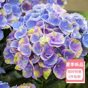 魔幻珊瑚 绣球花DOROQ多洛库大花绣球盆栽紫阳花庭院带花苞包邮