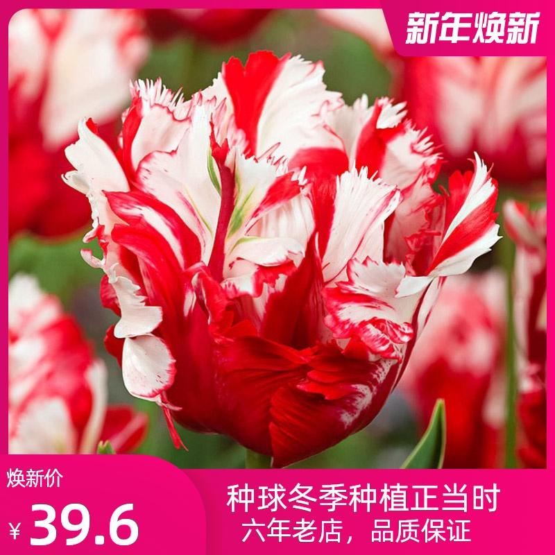 2020新品鹦鹉系列郁金香10颗种球盆栽花卉进口种子苗稀有重瓣耐寒