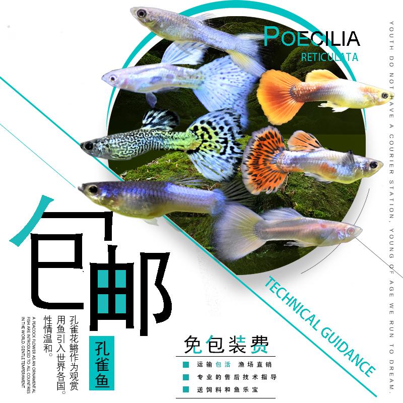 孔雀鱼纯种小鱼苗活体凤尾鱼红绿灯淡水金鱼胎生鱼小型热带观赏鱼
