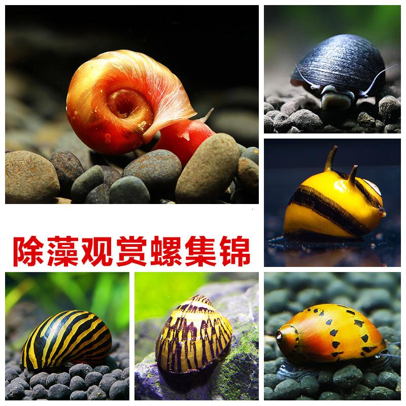 观赏螺活体工具螺除藻螺苹果螺金刚螺蜜蜂螺斑马螺蜗牛宠物螺