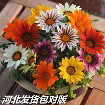 勋章菊非洲太阳花菊菊科四季花种子