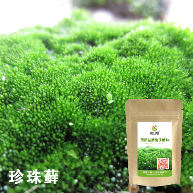 ニセ山盆栽苔の種コケの種コケの種の胞子粉吸水石の草の種に水石植物の四季常青