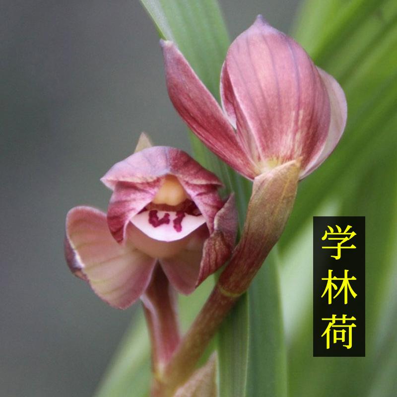 【兰花】兰花苗春剑名品荷瓣学林荷易养活易来芽盆栽花卉45.00元包邮