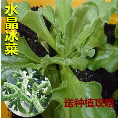 冰菜種籽正品 水晶冰草種籽 非洲特色菜陽臺盆栽四季蔬菜種籽