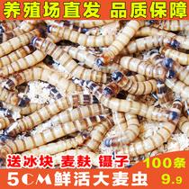 大麦虫活虫500g银龙鱼饲料鹦鹉鱼食活体面包虫活虫黄粉虫八哥鸟食