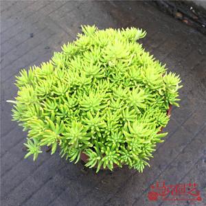 屋顶绿化佛甲草 宿根多年生草坪草皮佛甲草容器盆栽地被佛甲