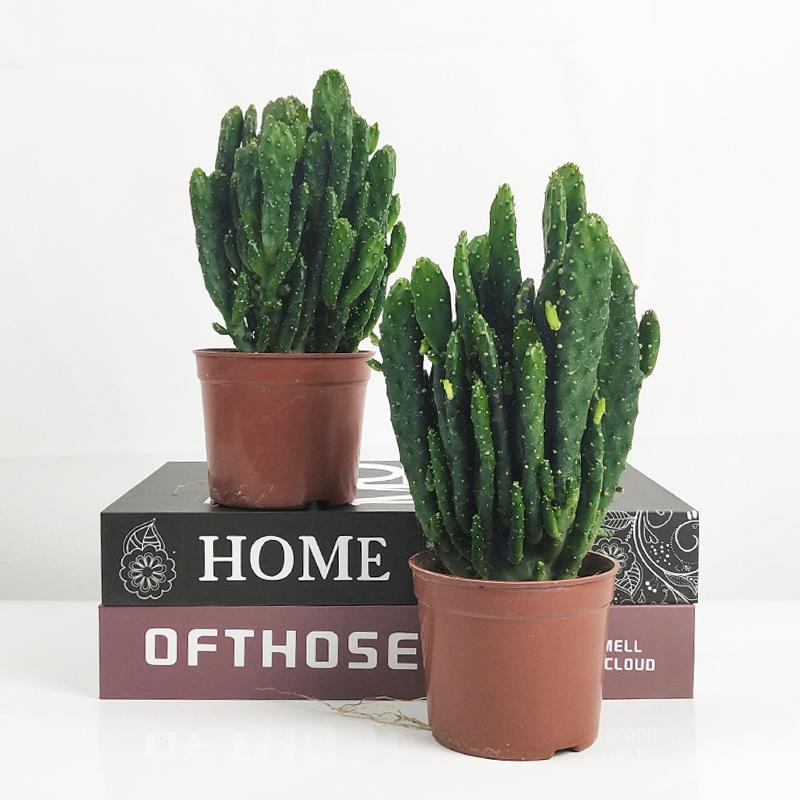 招财手多肉植物摇钱树仙人掌办公室内吸甲醛防辐射净化空气小盆栽