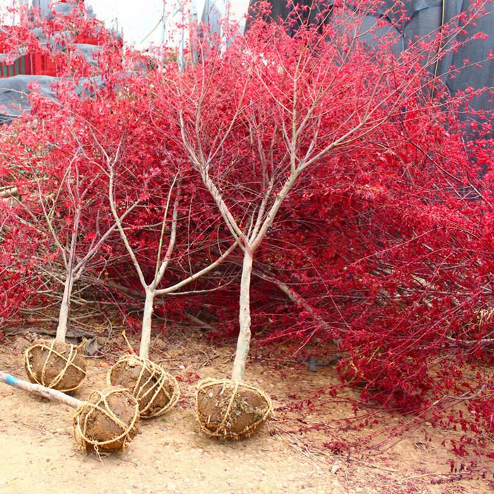 红枫树苗四季中国红庭院日本红枫