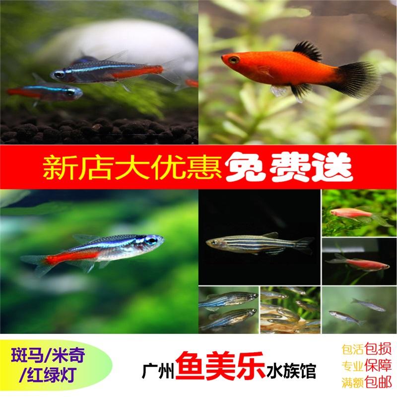 [鱼美乐] 红斑马鱼 黑斑马鱼 紫斑马鱼 米奇鱼红绿灯广东地区包邮