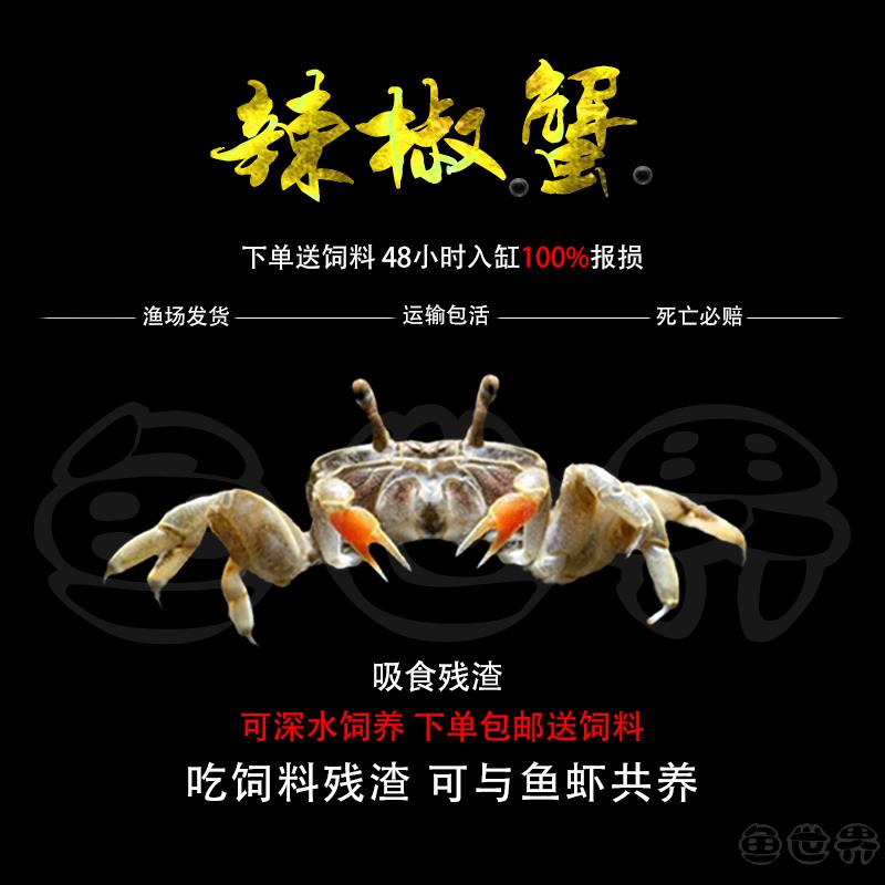 迷你蟹辣椒蟹活体宠物螃蟹观赏蟹吃虫除藻淡水蟹鱼缸深水底栖宠物