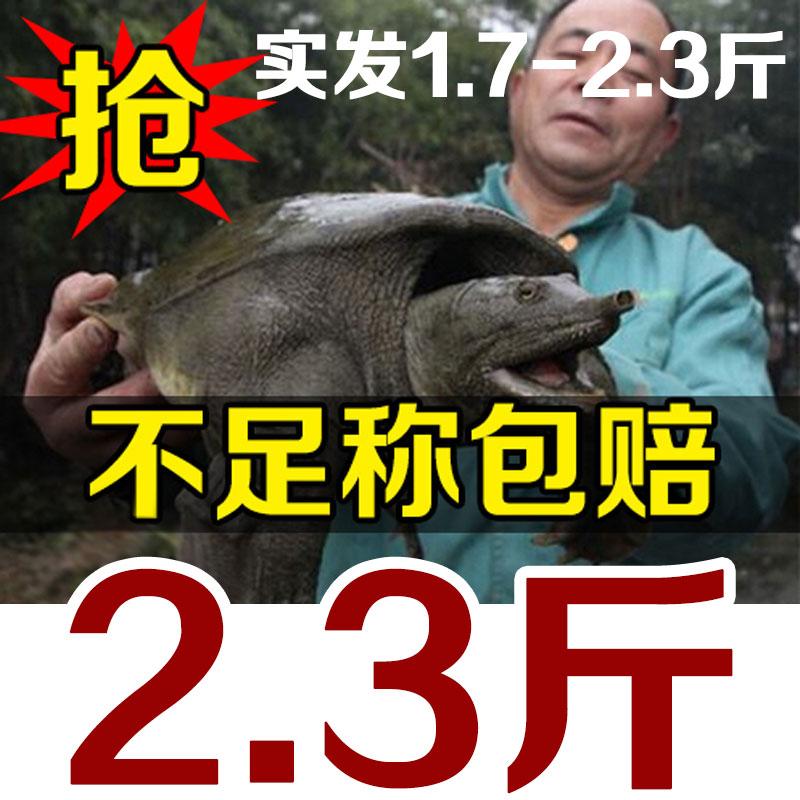 大甲鱼活体王八农家生态海鲜青黑中华老鳖团水产鱼生鲜活滋补特产