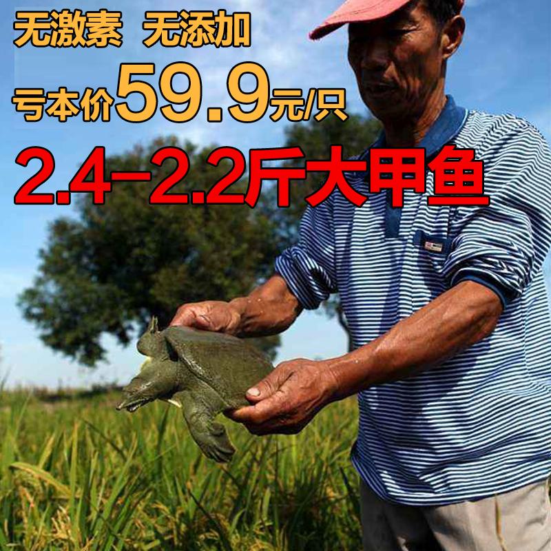 2.2斤大甲鱼活体包活放养老鳖中华鳖王八龟水鱼苗团鱼脚鱼